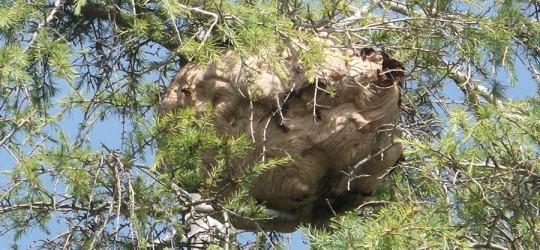 Frelon asiatique : une espèce indésirable